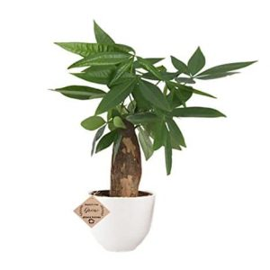 Pachira Money Tree Plant with Ceramic Pot