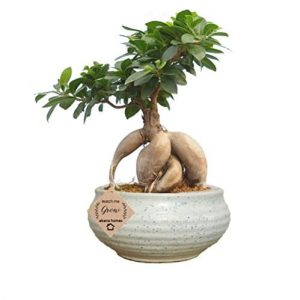 Ficus Bonsai – 6 Years Old