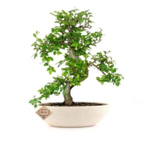 Chinese Elm Bonsai Live Plants for Home in Ceramic Pot