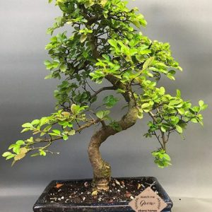 Statement Chinese Elm Bonsai Live Plants 9 Year old