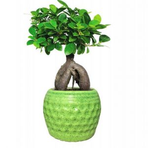 Grafted Ficus Indoor Bonsai Live Plants with Pot