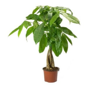 Pachira Braided Money Tree Plant