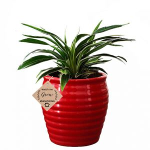 Air Purifier Spider Plant in Beautiful Red Pot