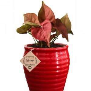 Air Purifying Plants Syngonium Mini Indoor Plant in Red Pot