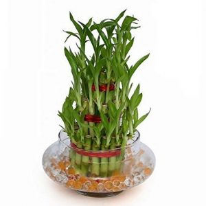3 Layer Lucky Bamboo Plant Indoor with Pot – Live Bamboo Plant in Big Glass Bowl