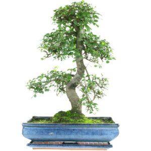 Chinese Elm Bonsai – 20 Year Old – 50-60 CM