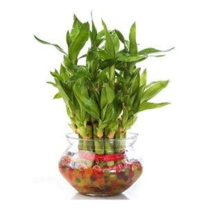 Lucky Bamboo Plant – Cool Gifts