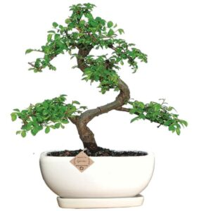 Bonsai Tree with Ceramic Pot & Drip Tray – Ulmus Elm Bonsai