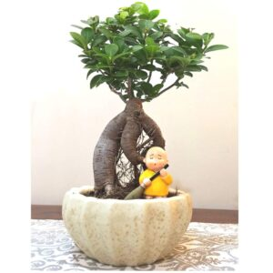 Ficus Plant with Figurine 4 Yrs Old