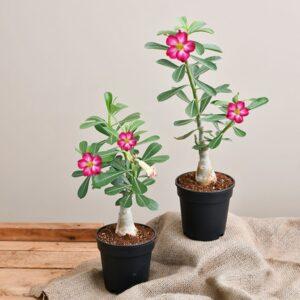 Adenium Flowering Bonsai Set of 2