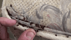 bed bugs rochester ny