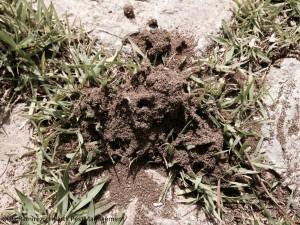 Argentine Ant Nest
