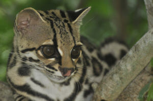 The Margay
