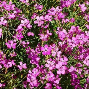 Ketoneilikka - Dianthus deltoides - Backnejlika - siemenet