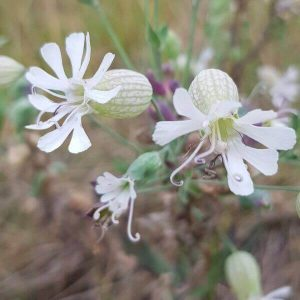 Nurmikohokki - Silene vulgaris - Smällglim - Siemenet täältä!