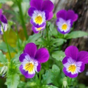 Keto-orvokki - Viola tricolor - Styvmorsviol frön - Luonnonkukkien siemenet.
