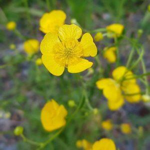 Niittyleinikki - Ranunculus acris - Smörblomma frön - Luonnonkukkien siemenet.