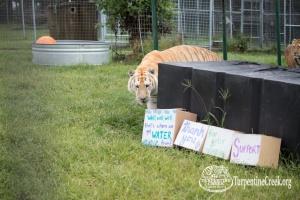 Runner Up Tiger King Tigger