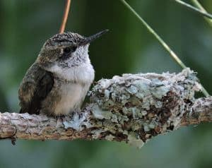 hummingbird nests are the smallest