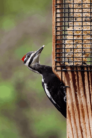 pileated woodpecker at suet cage feeder