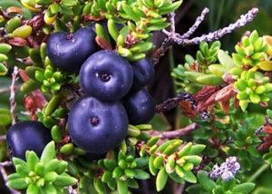 водяника черная карелия