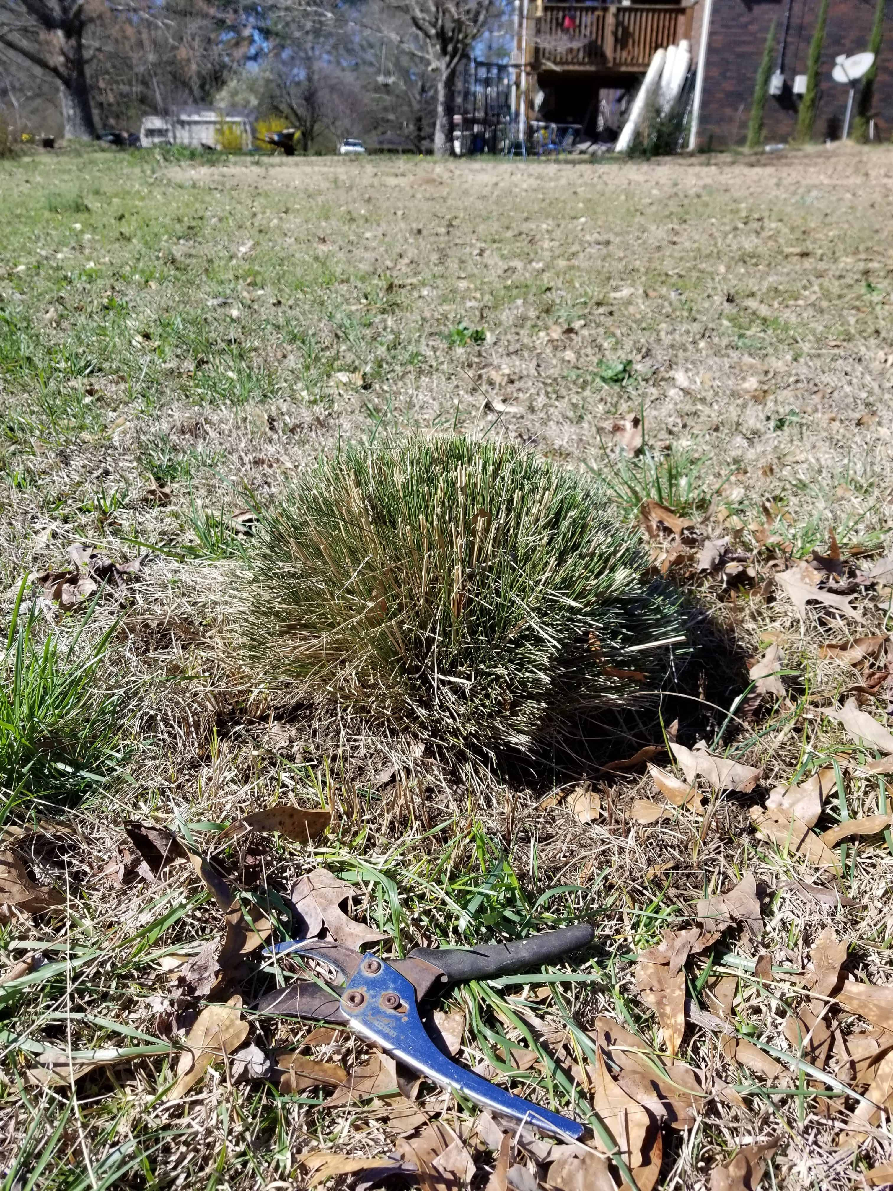 small rounded Muhly Grass after pruning