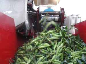 Russo's Corn Harvested