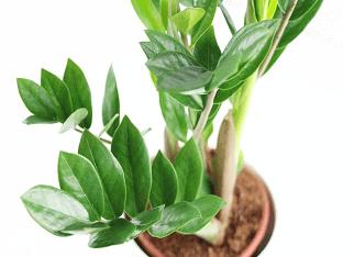 Замиокулькас: как ухаживать за долларовым деревом?