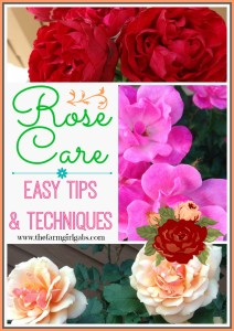 Easy rose care gardening tips and techniques.
