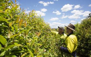 Лимонный мирт: австралийский чай выходит на мировой рынок