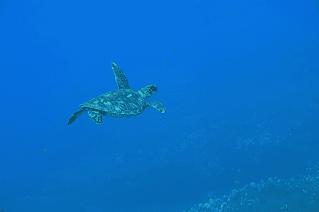 Green Sea Turtle Feeling Free
