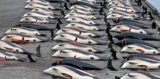 I giapponesi uccidono balene