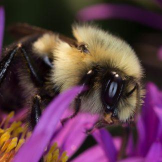 Bee Macro, on Purple Flower