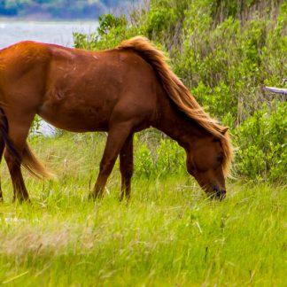 Wild horse grazing at Assateague Island