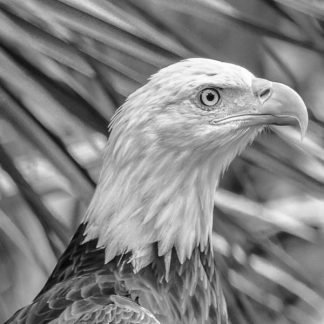 Headshot of Bald Eagle - Black and white