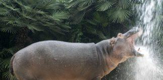 HANDOUT - Das undatierte Handout des Zoo Berlin zeigt den Flußpferdbullen Max