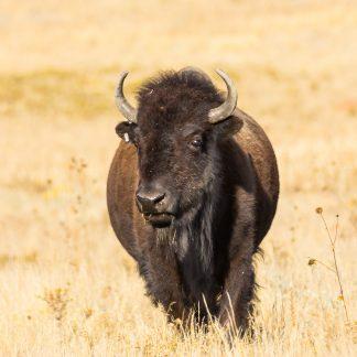 Oncoming Buffalo