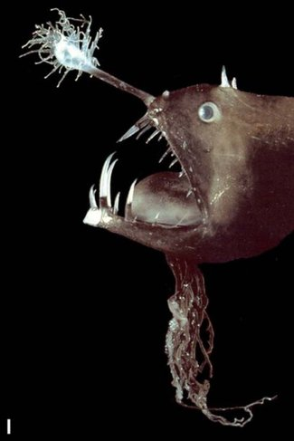Lure Attracts Prey Anglerfishes Asknature