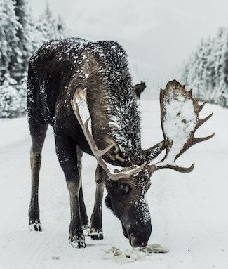 Dog chewing on moose antlers