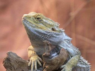 Do Bearded Dragons Hibernate