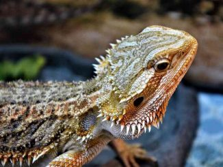 do bearded dragons eat carrots