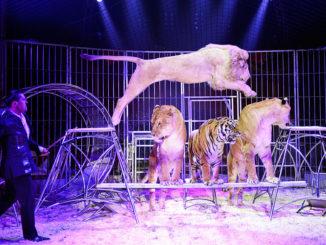 Löwen Dressur Zirkus Probst Freital