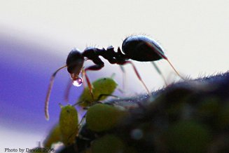 A ant receiving honeydew from an aphid.