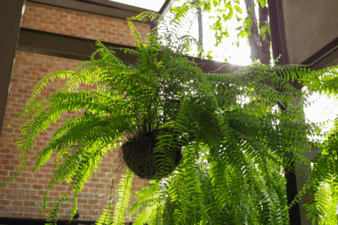 Freshen Up Your Curb Appeal with Ferns How To Hang Ferns on Your Front Porch
