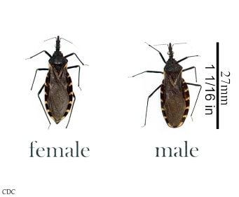 Kissing bugs are blood-suckers.