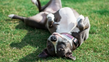 Best Collars For Pitbulls in 2021: Capable Of Taming Their Might