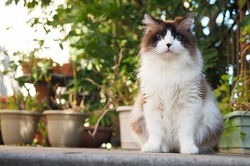 Ragdoll The Sweet and Docile Cat Breed