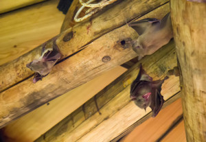 Bats in home attic