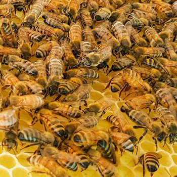 Honey Bees surviving during Winter. With enough stored honey for winter and enough bees to generate heat. Bee hives can survive winter. Carolina Honeybees
