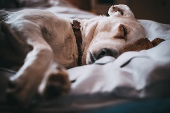 Flea prevention collar works dog sleep easily without itchiness scratching